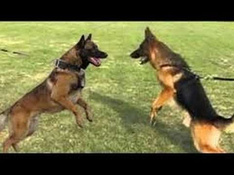 German Shepherd Vs Belgian Malinois Facts German